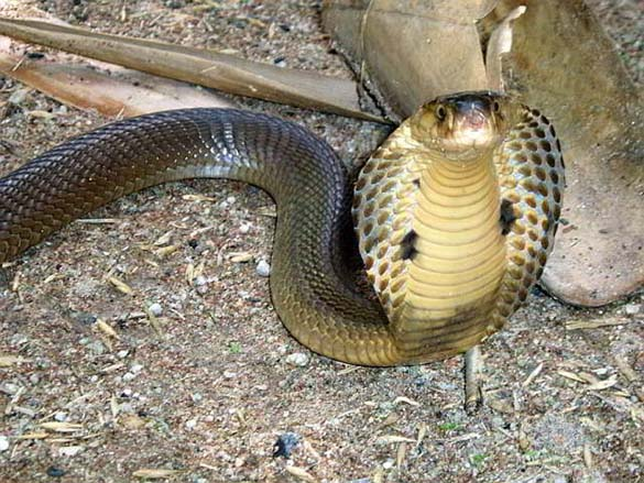 Есть ли змеи на пхукете